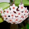 Το φυτό με τα «κέρινα» άνθη