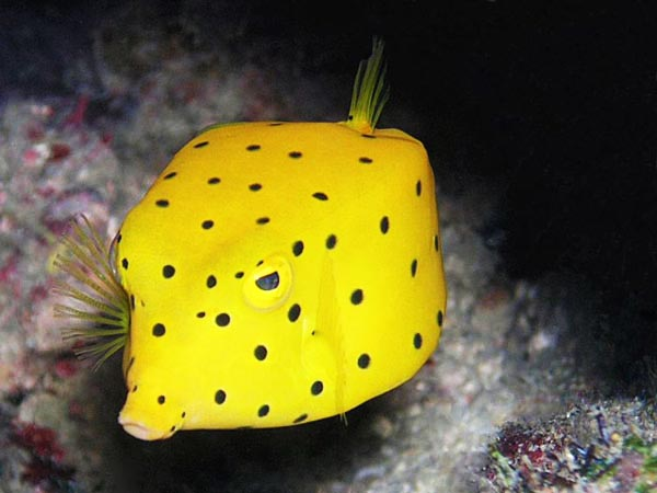 boxfish_peshku-katerkendor-kuriozitete-ne-shqip-nga-lorena-stroka
