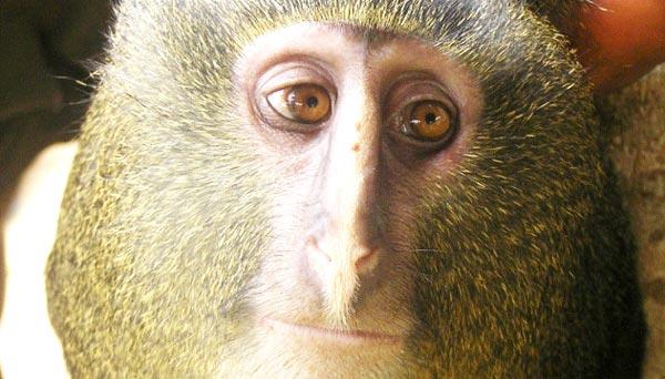 lesula-majmun-me-sy-njeriu-lorena-stroka-kuriozitete1