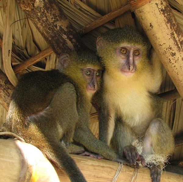 lesula-majmune-me-sy-njeriu-lorena_stroka_shkrime