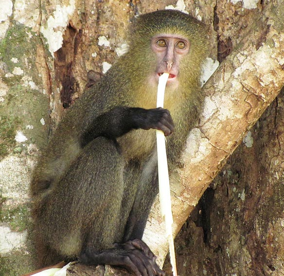 majmun-me-sy-njeriu-lesula-lorena-stroka-2